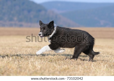 Border Collie puppy 8 weeks running in the field in march - stock photo