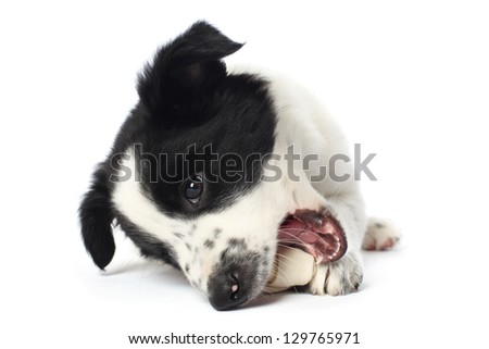 Border collie puppy with a bone - stock photo
