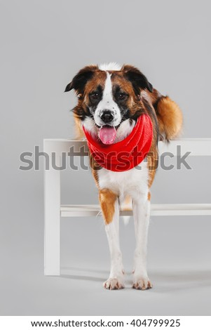Border Collie relies hind legs on the table