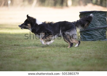 Border collie, running in Hooper training