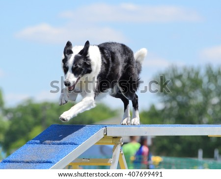 Border Collie Running on a Dog Walk at a Agility Trial - stock photo