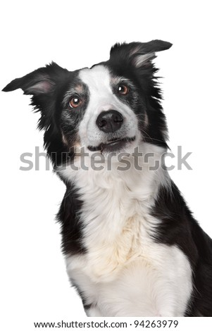 Border collie sheepdog in front of a white background - stock photo