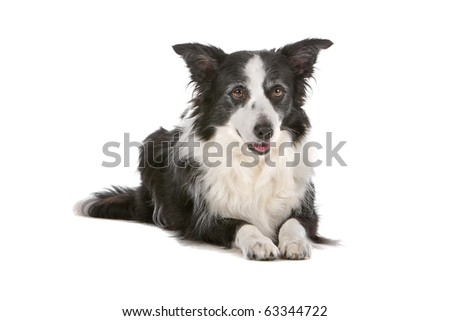 border collie sheepdog isolated on a white background