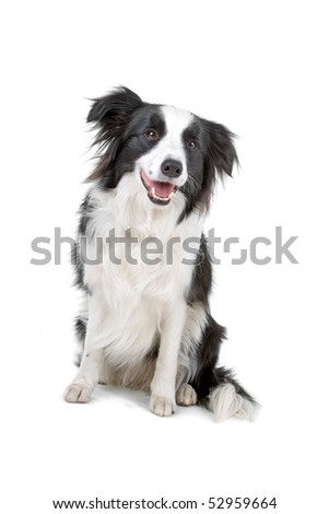 border collie sheepdog on a white background