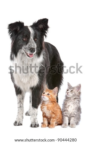 Border collie sheepdog standing  next to two kittens. - stock photo