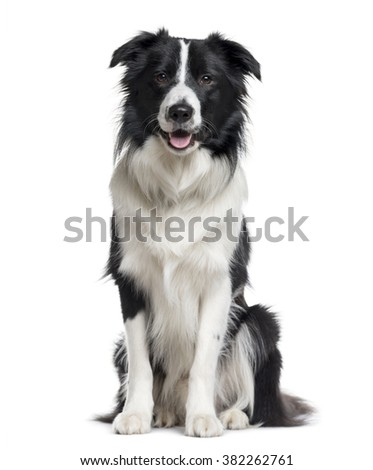 Border Collie sitting and looking the camera isolated on white - stock photo