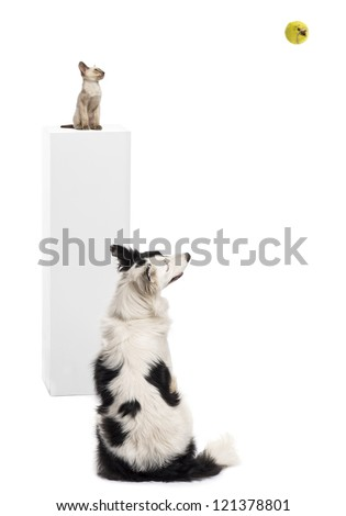 Border Collie sitting in front of a Oriental shorthair kitten sitting on a pedestal, watching a tennis ball against white background - stock photo