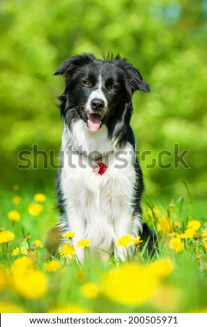 Border collie sitting on the field with dandelions - stock photo