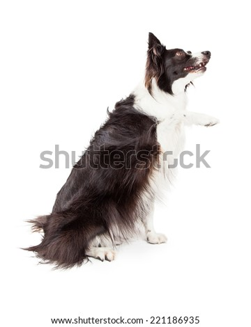 Border Collie sitting to the side and lifting up her paw to shake and looking up - stock photo