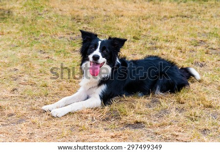 Border Collie smiles. The Border Collie lies on the grass in the park. - stock photo
