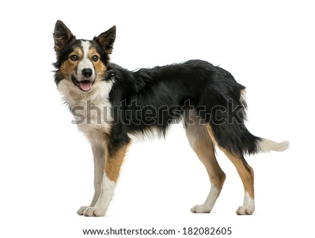 Border collie standing, panting, isolated on white - stock photo
