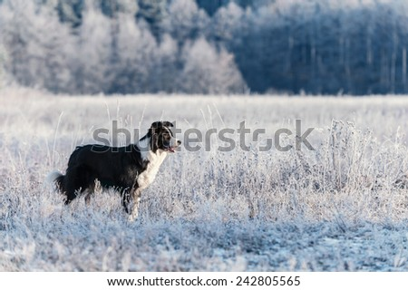 Border Collie stands in frost - stock photo