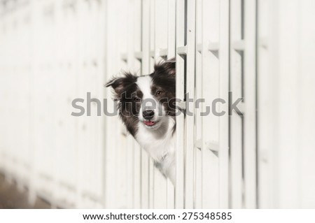 Border Collie stuck his head through the fence - stock photo