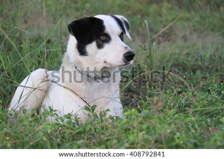 Border Collie Watching - stock photo