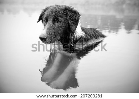 Border Collie while bathing in the river - stock photo