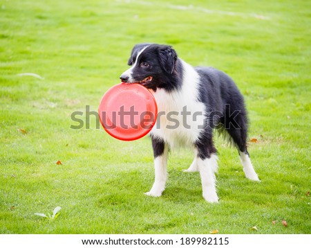 Border collie with frisbee in mouth in field - stock photo