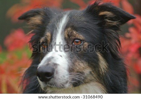 Border collie with red leaves behind and side view - stock photo