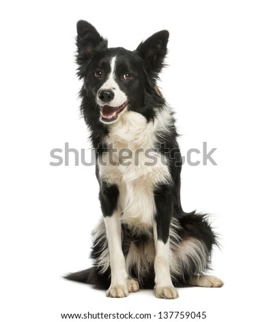 Border Collie, 1 year old, sitting and panting, isolated on white - stock photo