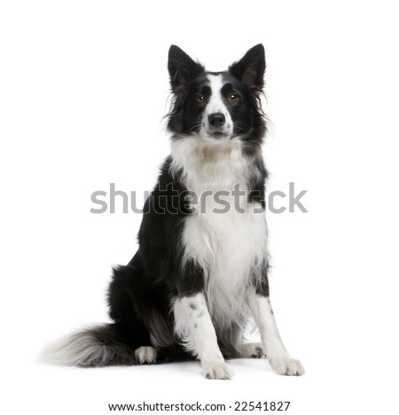 Border Collie (4 years) in front of a white background - stock photo