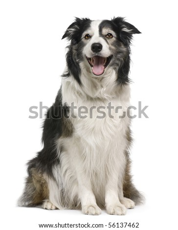 Border collie, 3 years old, lying in front of white background - stock photo