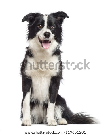 Border Collie, 1.5 years old, sitting and looking away against white background - stock photo