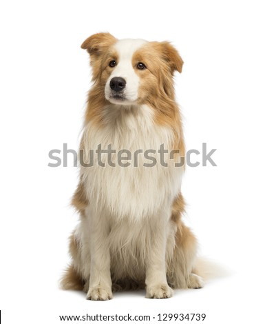 Border Collie, 1.5 years old, sitting and looking away in front of white background
