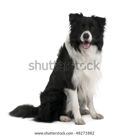 Border Collie, 3 years old, sitting in front of white background - stock photo