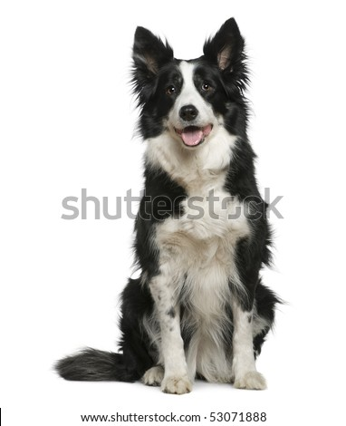 Border Collie, 10 years old, sitting in front of white background - stock photo