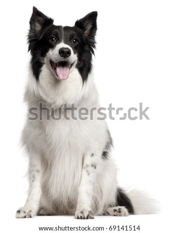 Border Collie, 8 years old, sitting in front of white background - stock photo