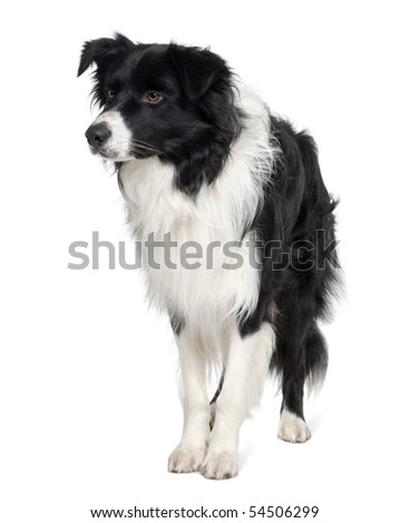 Border collie, 3 years old, standing in front of white background - stock photo