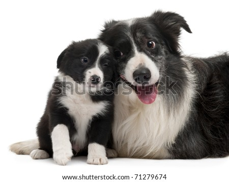 Border Collies interacting in front of white background - stock photo