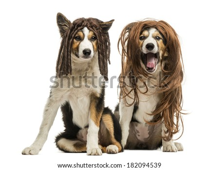 Border Collies wearing wigs sitting together, isolated on white - stock photo