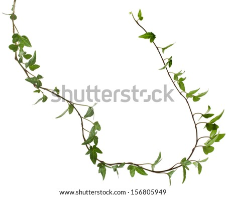 Border Frame made of Green climbing plant, shape heart ,isolated on white background  - stock photo