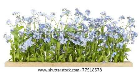 Border from spring blue Forget-me-nots (Myosotis) flowers   isolated on white - stock photo