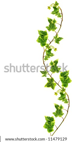 Border made of Green ivy isolated on white background - stock photo