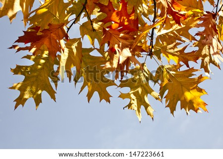 Border of colored  autumn maple leafs in blue sky copy space background
