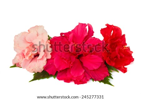 border of colorful  red and pink hibiscus flowers isolated on white background - stock photo