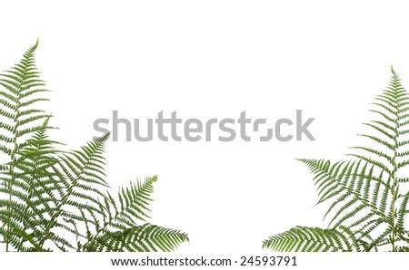 border of ferns ,isolated on white background - stock photo