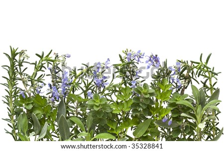 Border of fresh herbs, with white background.  Includes flowering rosemary, sage, parsley and oregano.