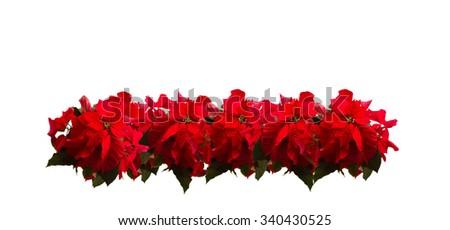 border of fresh scarlet poinsettia flower or christmas star  on a white background  - stock photo