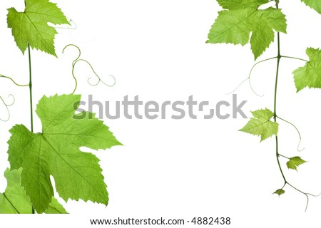 border of grape or vine leaves isolated on white background with copy-space.Please take a look at my other images of grape-leaves - stock photo