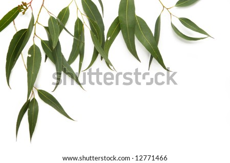 Border of gum leaves, casting soft shadow on white. - stock photo