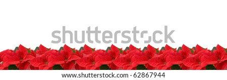 border of red poinsettia isolated on a white background - stock photo