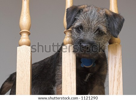 Border Terrier puppy - stock photo