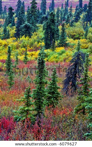 Boreal Forest in autumn color - stock photo