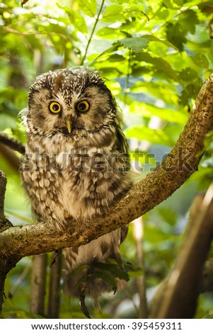 Boreal owl illuminated by the sun is sitting on the branch and watching into the wood. - stock photo