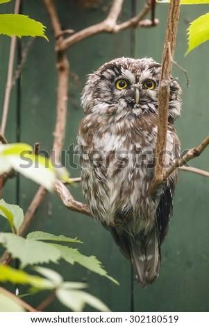 Boreal owl portrait - stock photo