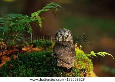 Boreal Owl standing on the moss in the wood