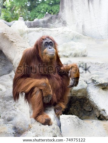 Bored Captive  Orangutan staring  blankly - stock photo