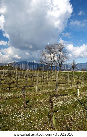 Borgonato (Bs),Franciacorta,Lombardy,Italy,a vineyard of Chardonnay grapes in March